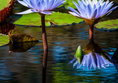 Purple Lilly Reflections